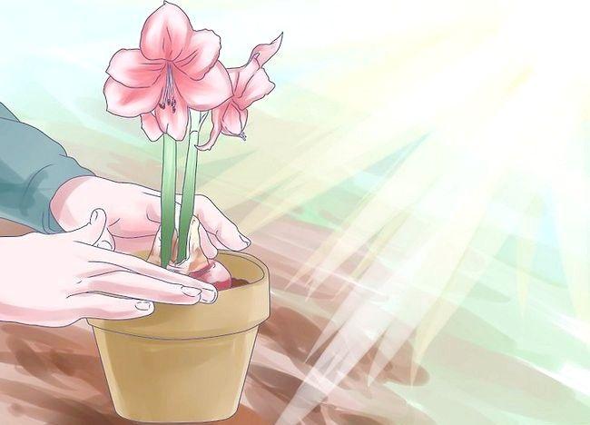 Imaginea intitulată Îngrijire pentru flori Amaryllis Pasul 13