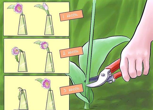 Imagine intitulată Îngrijire pentru lalele tăiate proaspăt Pasul 1