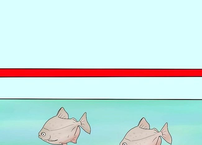 Imagine cu titlul Îngrijire pentru argint Dollar Fish Step 2