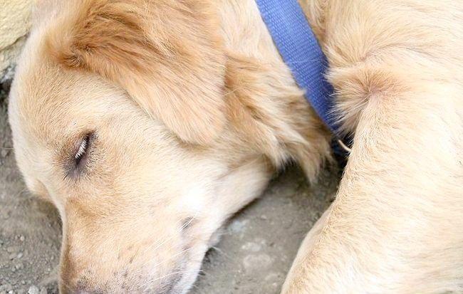 Imaginea intitulată Împiedicați căpușele pe câini Pasul 3