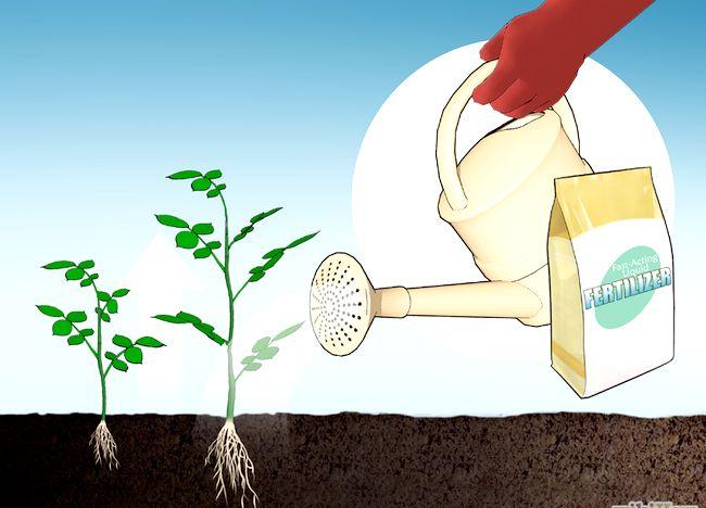 Imaginea intitulată Fertilize Roses Step 11.jpg