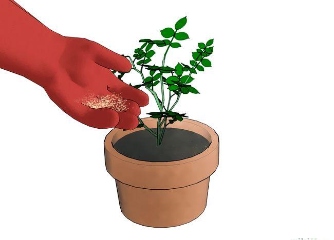 Imaginea intitulată Fertilize Roses Step 12.jpg