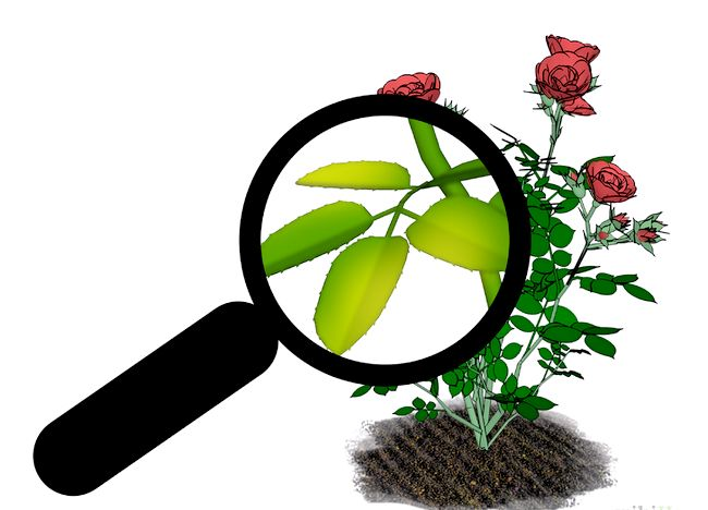 Imaginea intitulată Fertilize Roses Step 13.jpg