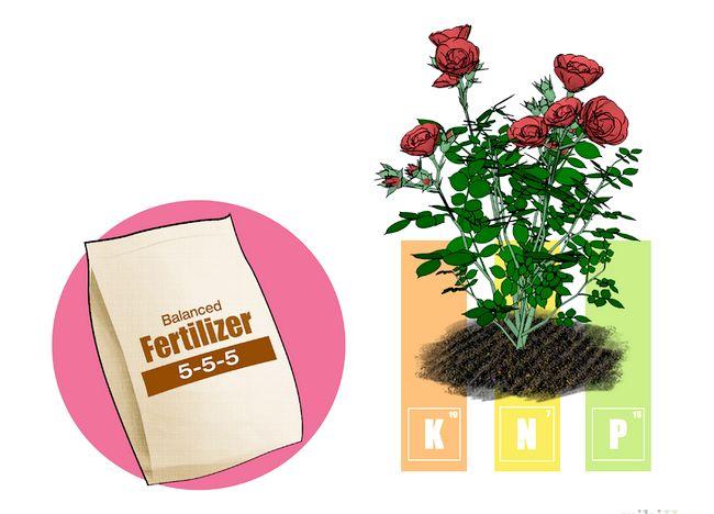 Imagine intitulată Fertilize Roses Step 3.jpg
