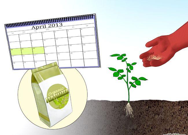 Imaginea intitulată Fertilize Roses Step 7.jpg