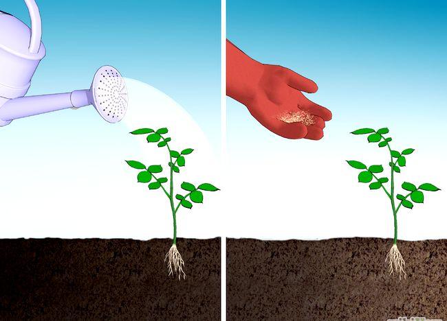 Imaginea intitulată Fertilize Roses Step 8.jpg