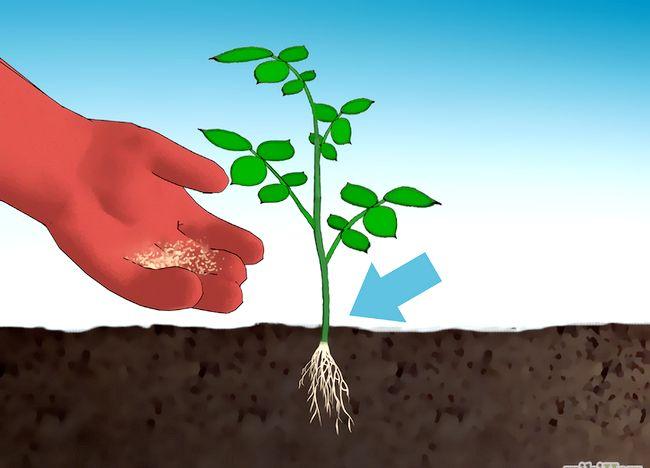 Imagine intitulată Fertilize Roses Step 9.jpg