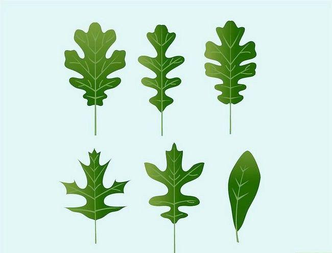 Imaginea intitulată Identificați frunzele de stejar Pasul 1