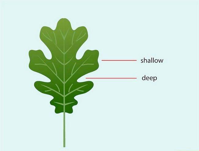 Imaginea intitulată Identificați frunzele de stejar Pasul 3