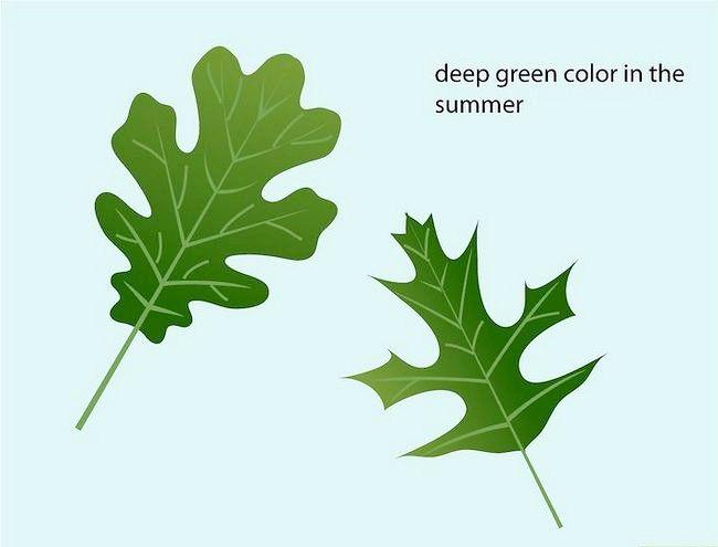 Imaginea intitulată Identificați frunzele de stejar Pasul 5