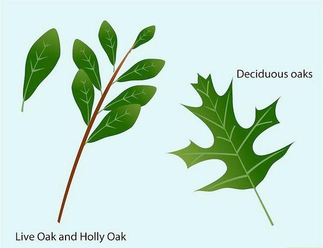 Imaginea intitulată Identificați frunzele de stejar Pasul 6
