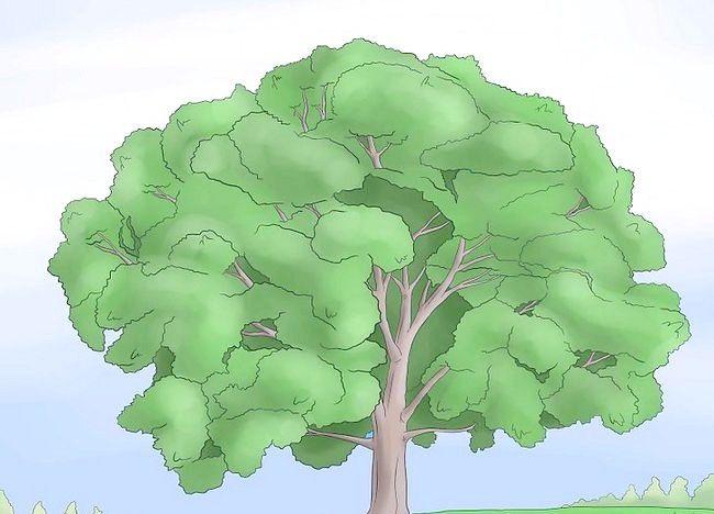 Imaginea intitulată Identificați un copac de copac Pasul 4