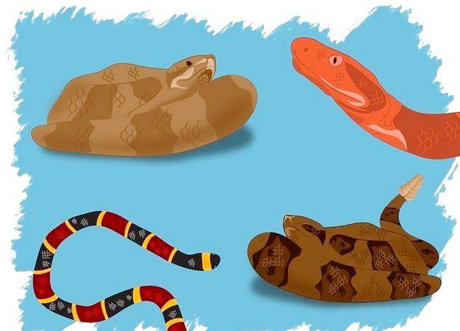 Cum de a identifica un șarpe otrăvitoare
