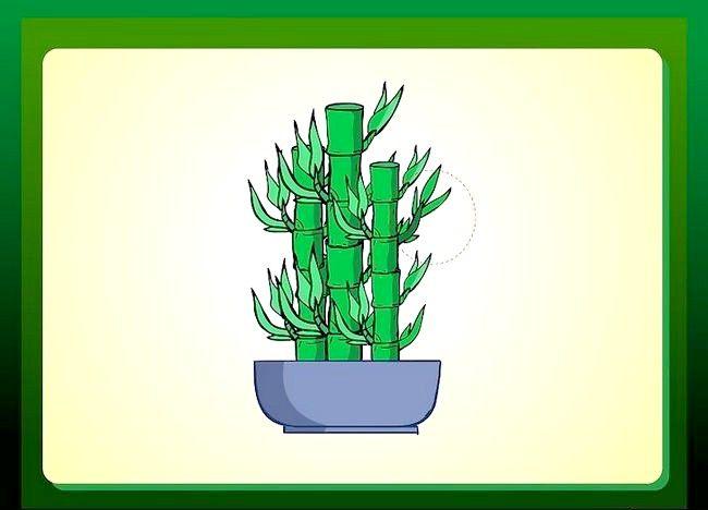 Cum de a propaga norocos de bambus