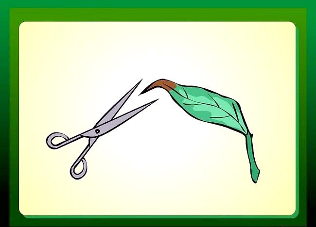 Imagine intitulată Îndepărtarea sfaturilor roșii de pe frunzele plantelor de casă Pasul 2