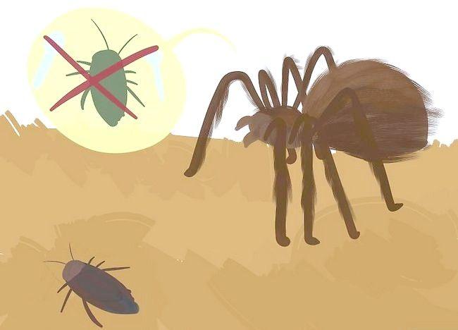Cum sa stii daca Tarantula ta este in inlocuirea pielii