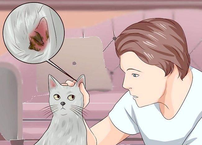 Imagine intitulată Îndepărtați acarienii într-o pisică Pasul 1