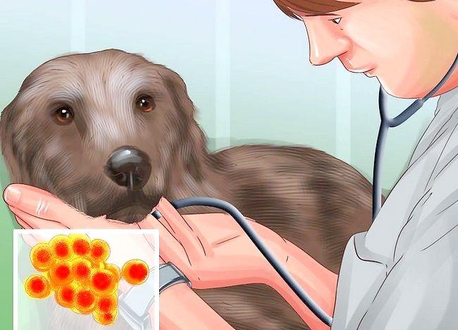 Image cu titlul Tratarea foliculitei la câini Pasul 8