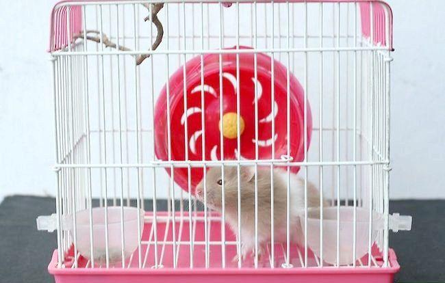 Cum să-ți antrenezi hamsterul