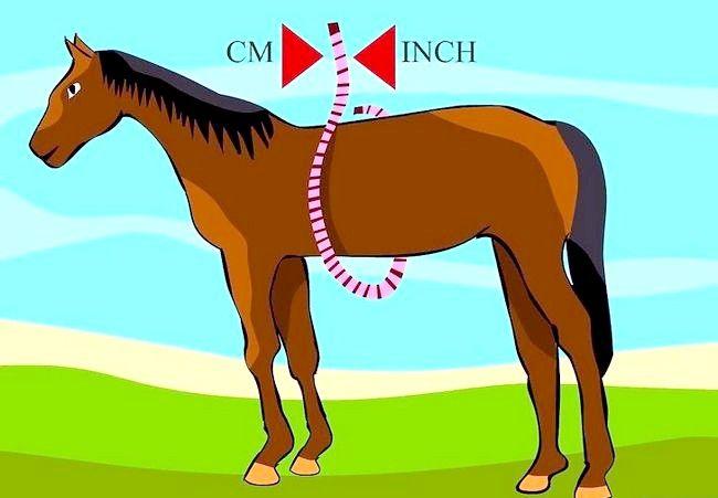 Cum se utilizează o măsură de bandă pentru a cântări un cal