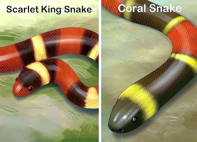 Cum să vezi diferența dintre un șarpe coral veninos și un șarlat scarlat