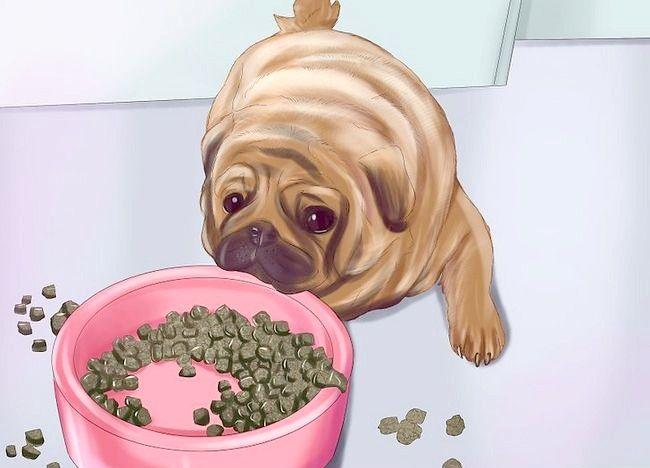 Cum să trăiești cu un câine Pug